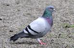 rock-pigeon5
